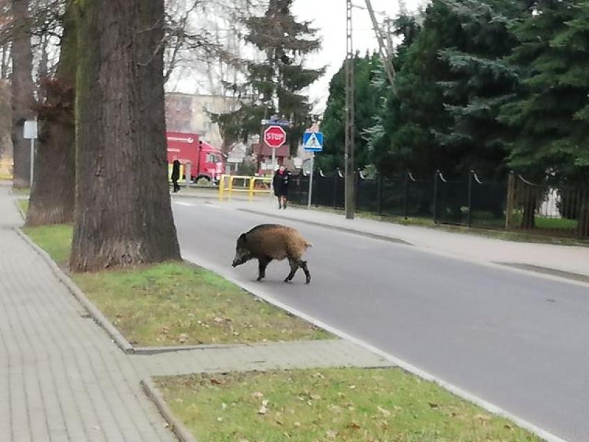 Nowy Dwór Gd. Spacerujący dzik po mieście.